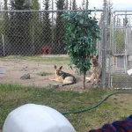 usa dunrite kennel/German shepherd playing on their paypen capture 2019